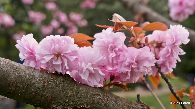 Flori de ciresc japonez DSC06355-2