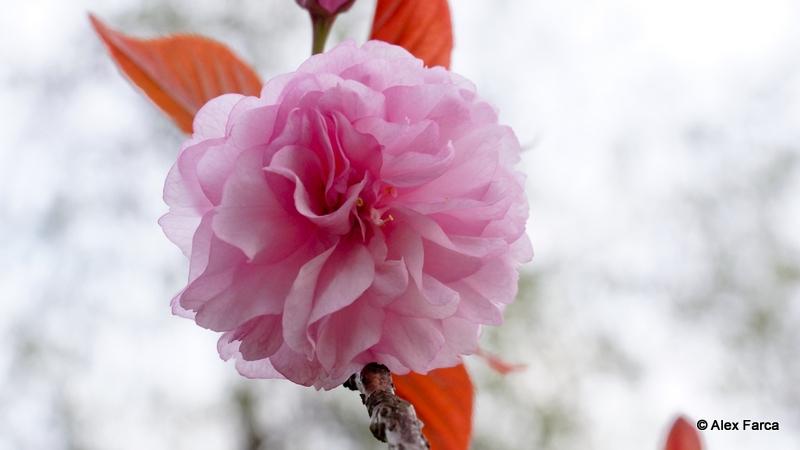 Flori de ciresc japonez DSC06358