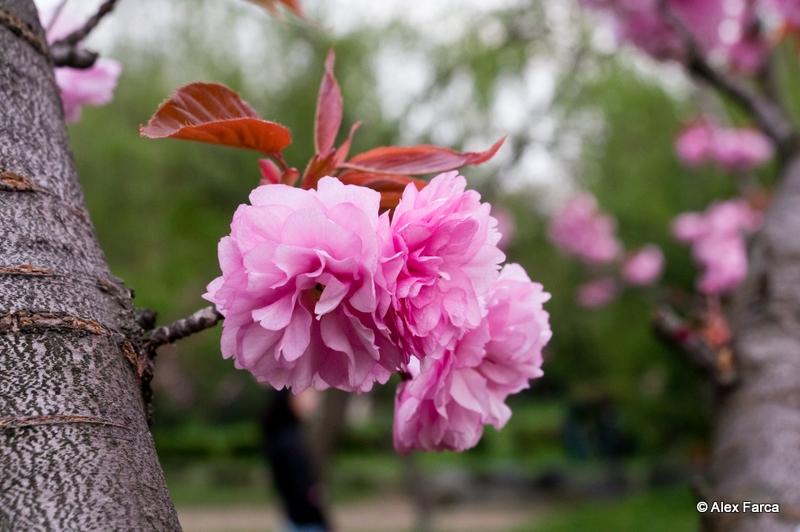 Flori de ciresc japonez DSC06366