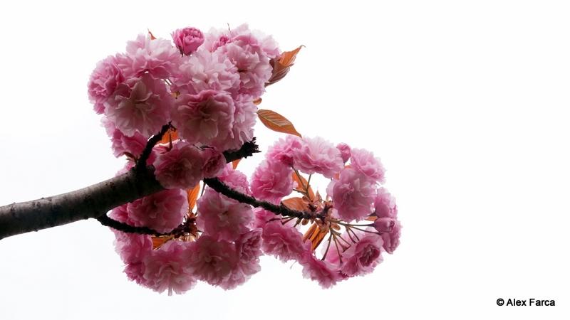 Flori de ciresc japonez DSC06367