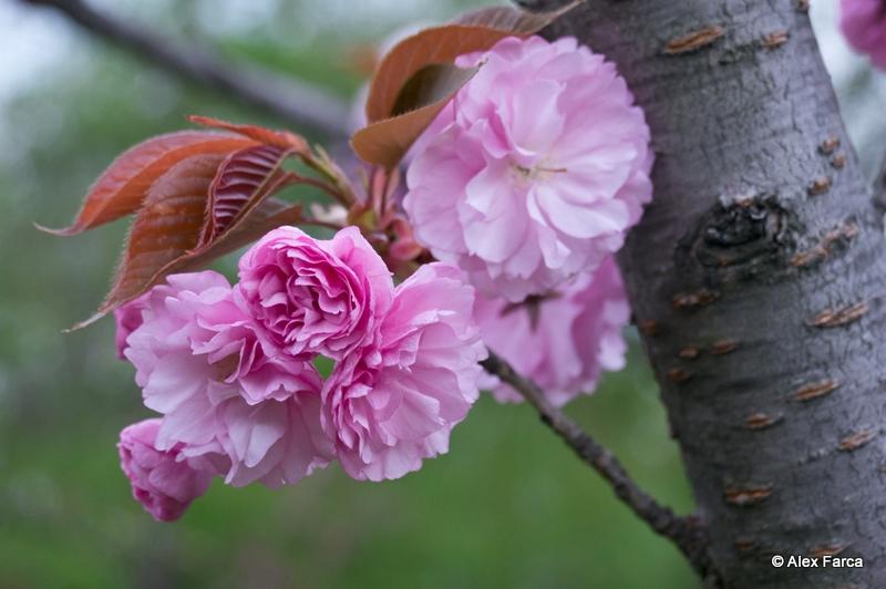 Flori de ciresc japonez DSC06375