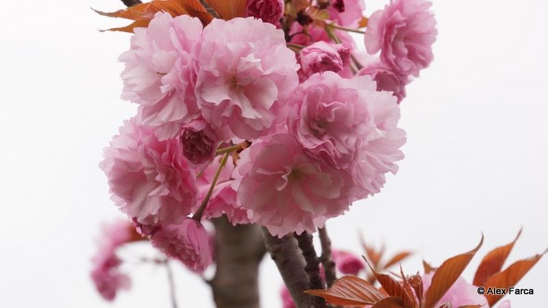 Flori de ciresc japonez DSC06392
