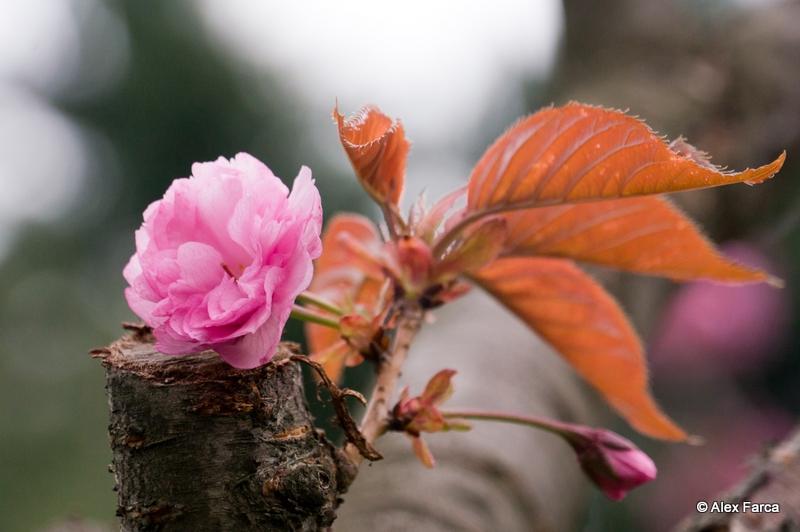 Flori de ciresc japonez DSC06405