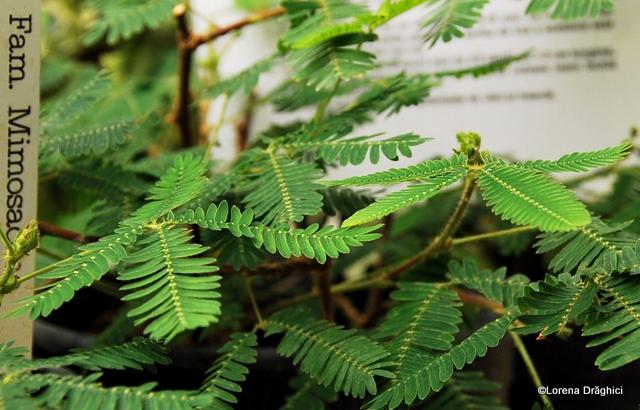 Gradina Botanica Jibou - Mimosa Pudica