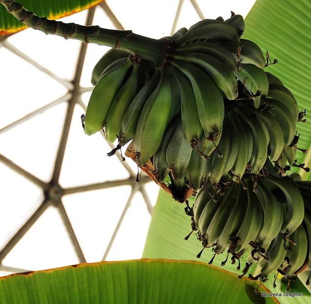 Gradina Botanica Jibou - banane
