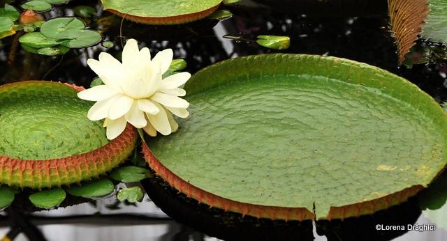 Gradina Botanica Jibou - lotus Victoria Amazonica 2