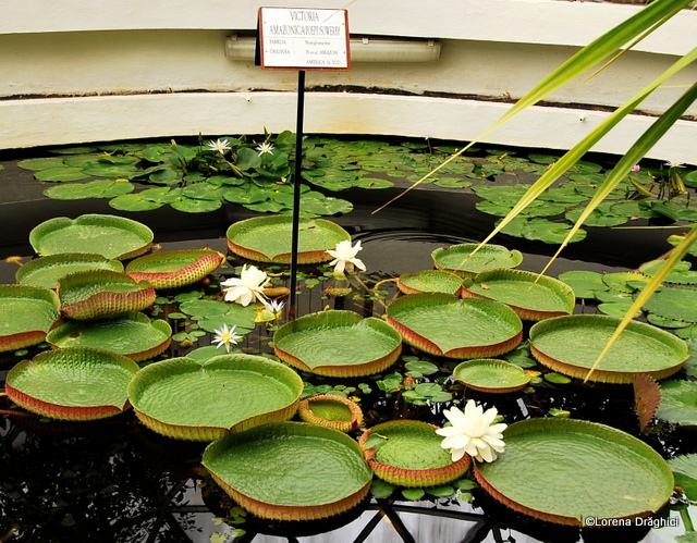 Gradina Botanica Jibou - lotus Victoria Amazonica