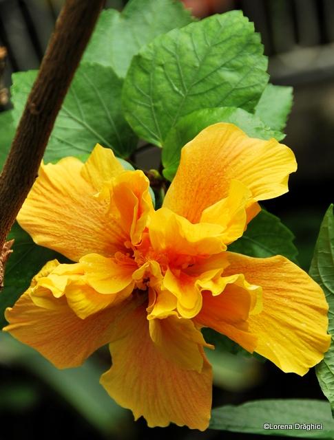 Gradina Botanica Jibou - trandafir japonez