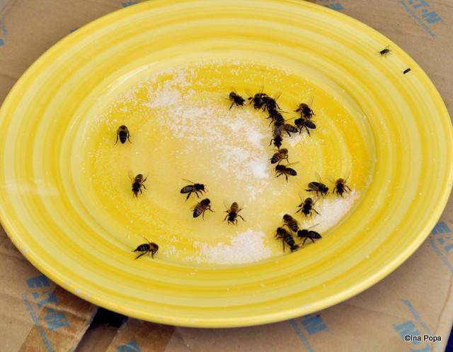 Making of limoncello: se hranesc albinele