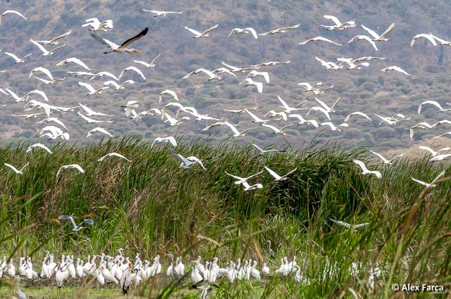Multe păsări