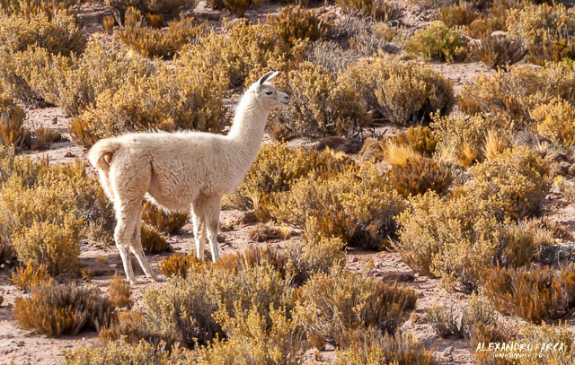 Atacama_Salar de Tara-8231