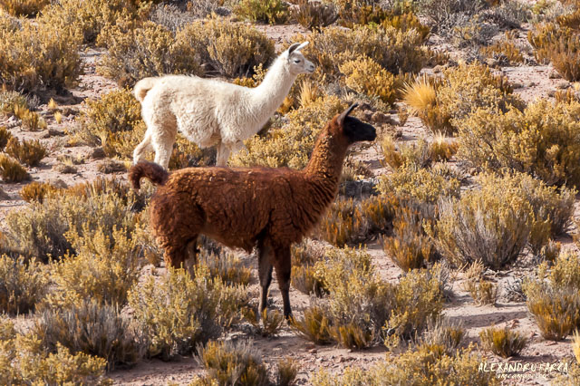 Atacama_Salar de Tara-8239
