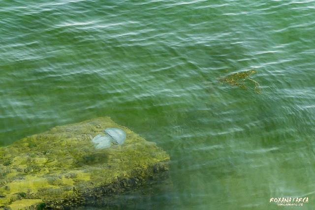 Se mai întâmplă însă să scape și câte o meduză exotică (în port, adusă probabil de un vas)