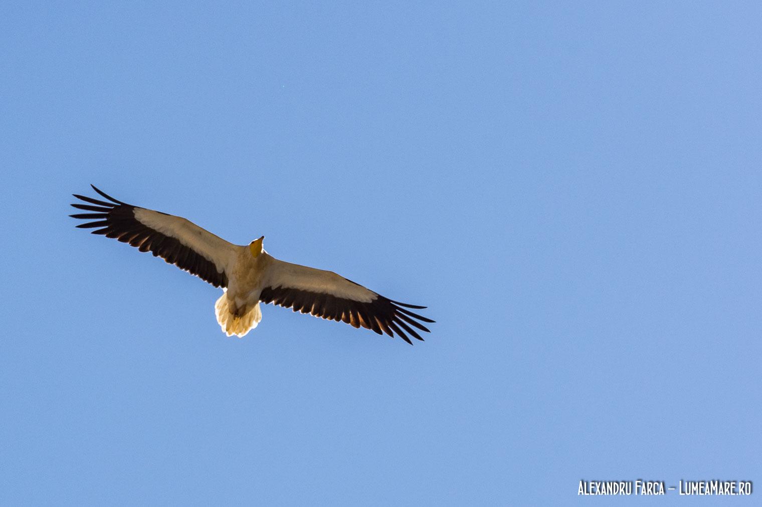 Vulturii egipteni zboara peste Jebel Shams