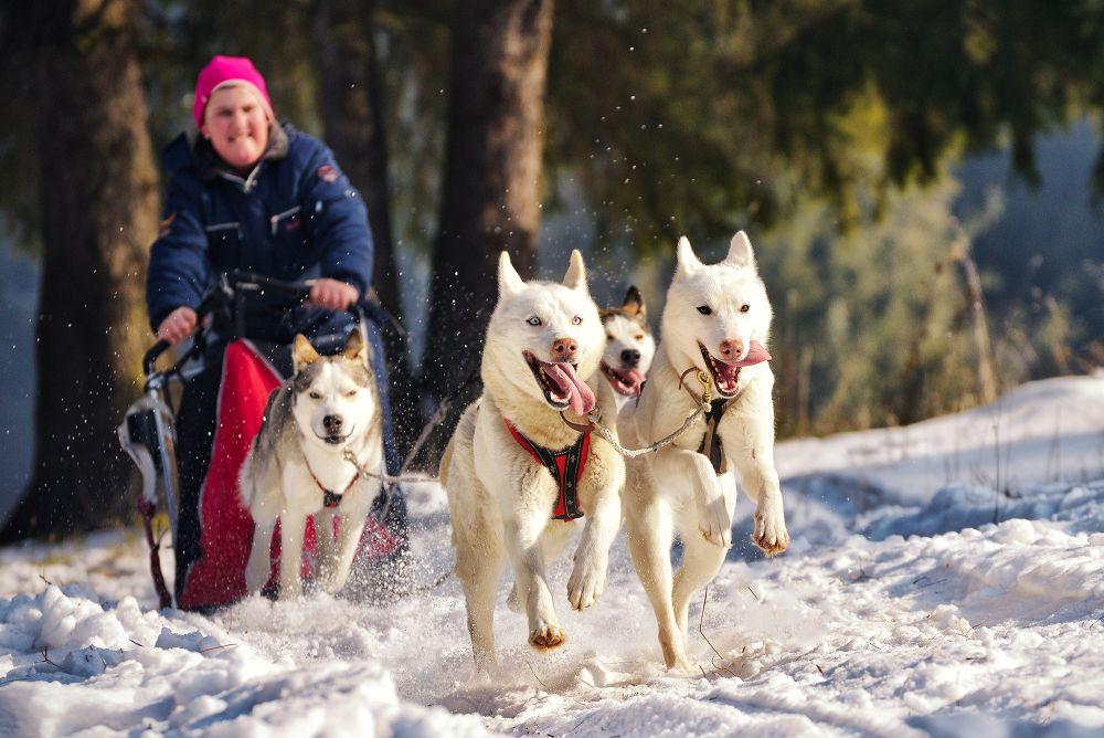 Competiția de sprint cu atelaje canine Cupa Băile Tușnad