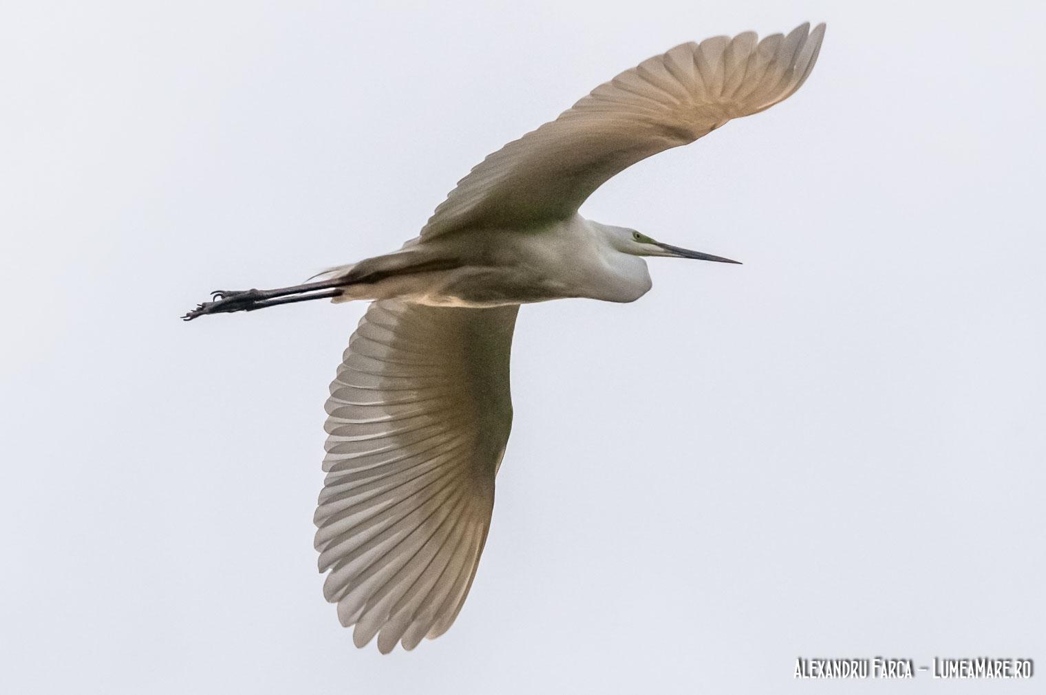 Egretă mare - Casmerodius albus
