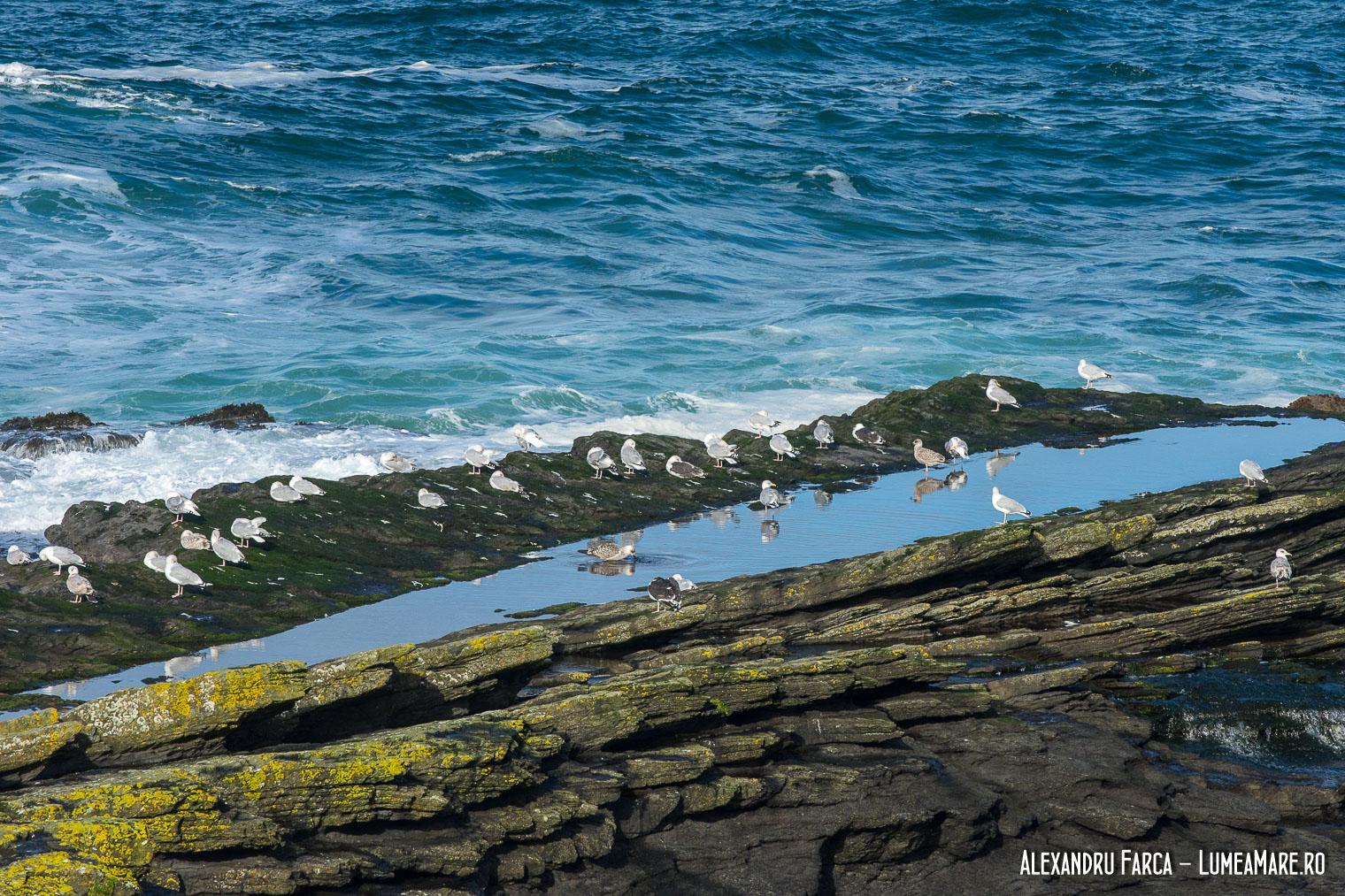Pescăruși negri (Larus marinus) și pescăruși argintii (Larus argentatus)