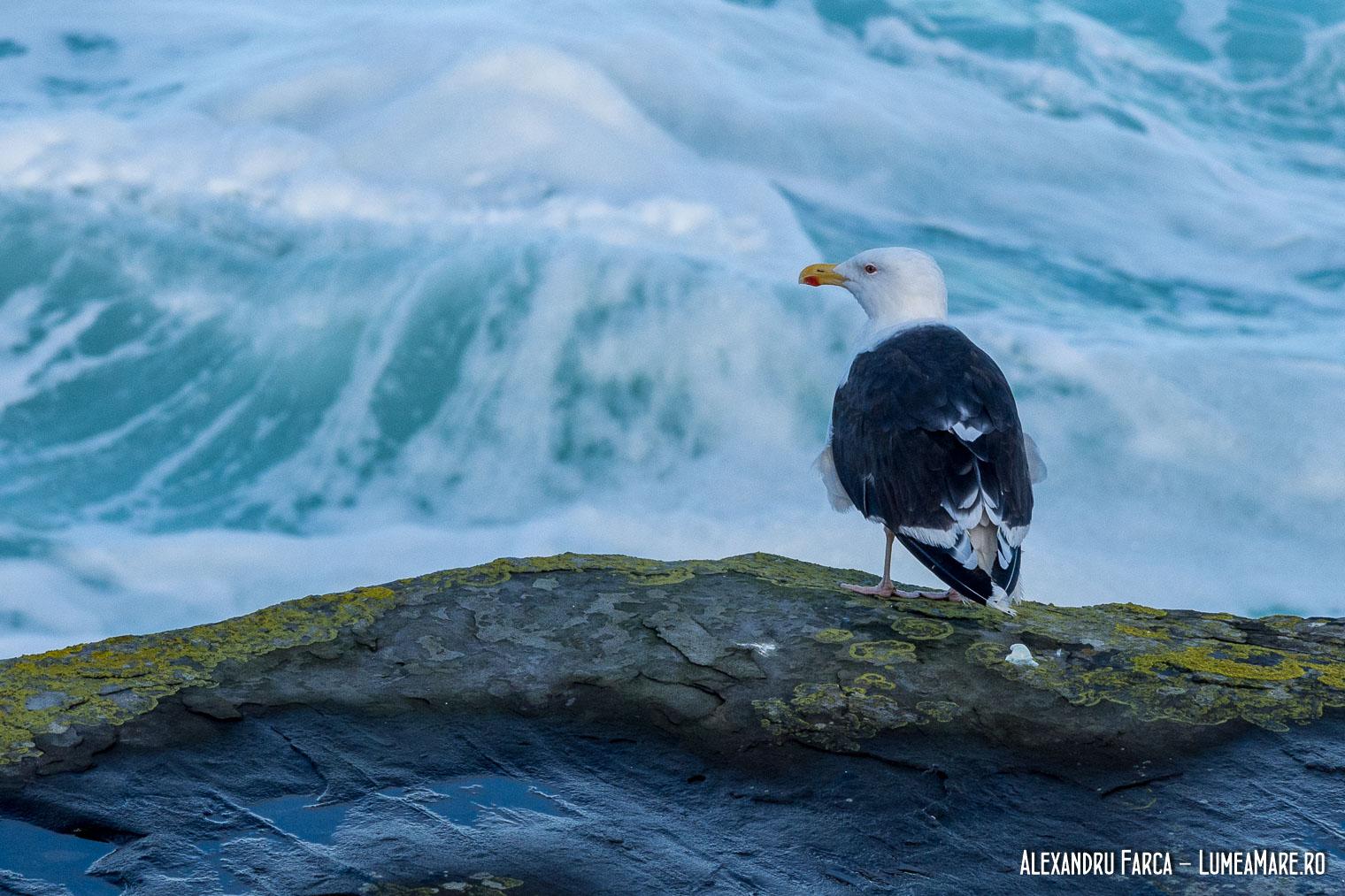 Pescăruș negru - Larus marinus