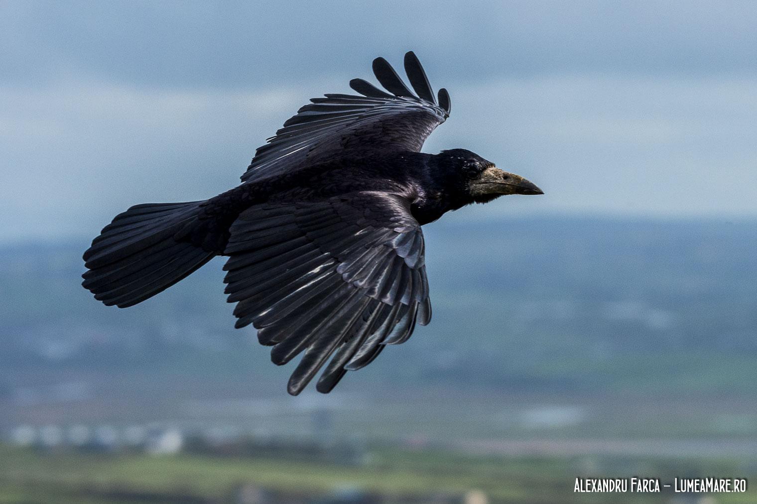 Cioara de semănătură - Corvus frugilegus