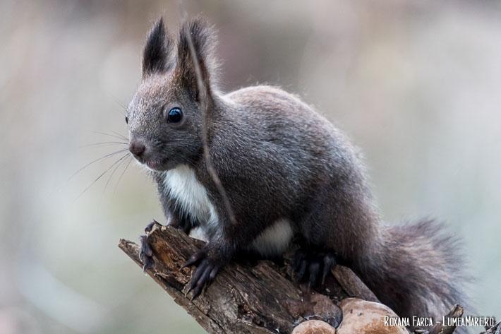 Veverițe în Parcul Plumbuita