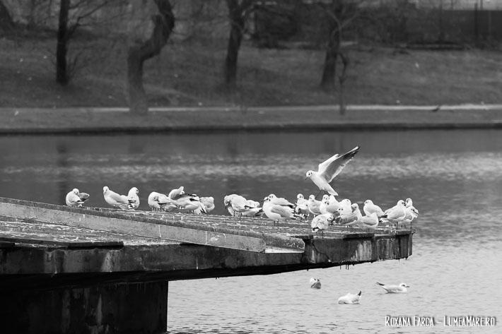 Păsări pe lacul din Parcul Plumbuita