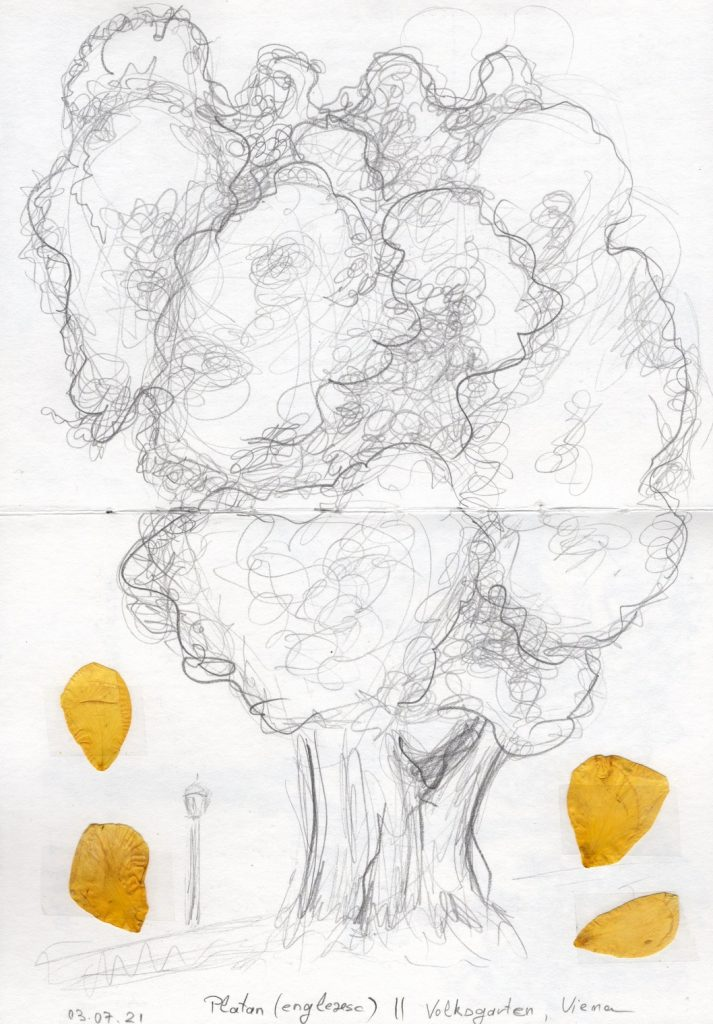 Platan din Volksgarten. Schiță în creion și petale uscate de trandafir.